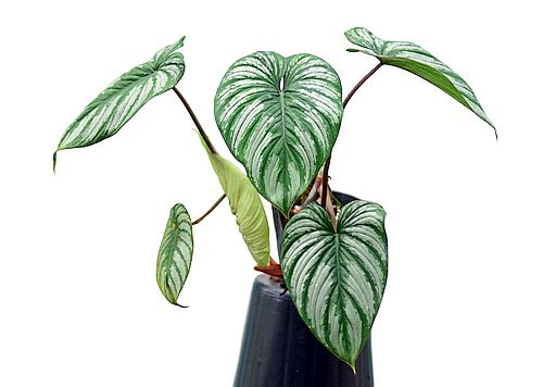 Harga Philodendron Mamei