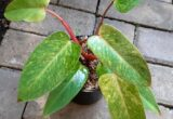 Harga Philodendron Painted Lady