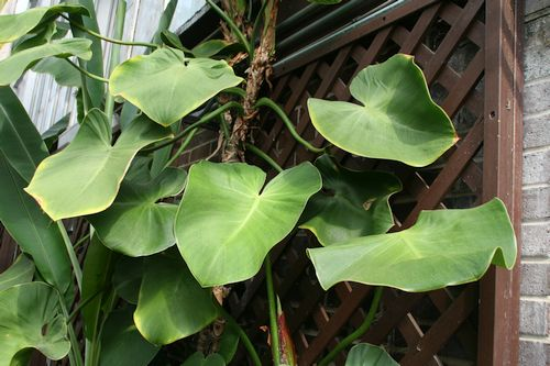 Harga Philodendron Rugosum