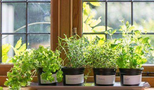 Tanaman herba indoor
