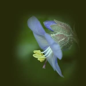 Alaska Flax Blue Flax (Linum Lewisii)