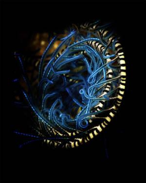 Blue Spiral Crinoid (Echinodermata crinoidea)