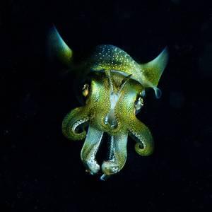 Dark Eyes Bigfin Reef Squid (Sepioteuthis lessoniana)