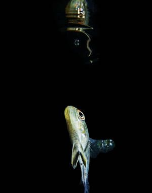 Archer Banded Archer Fish (Toxotes jaculatris)