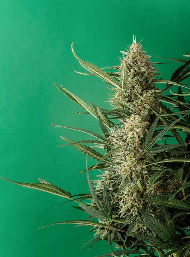 plant-cannabis