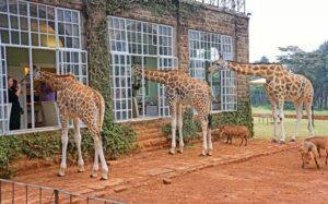 Turismo en África: dormir entre jirafas