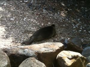 2013-0827 monk seal