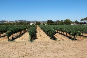vineyard_netted_700_467