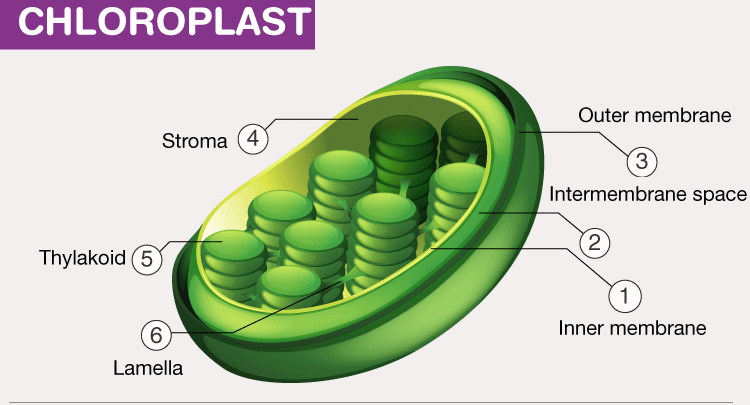 CHLOROPLAST-Cell-Organelles