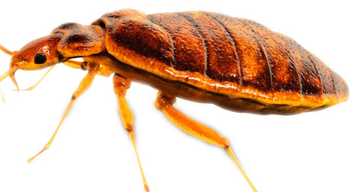 Bed bug- png