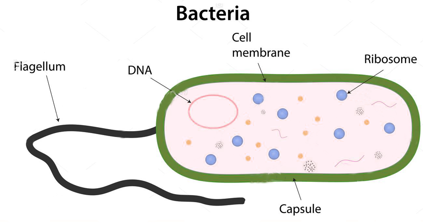 Bacteria-structure png