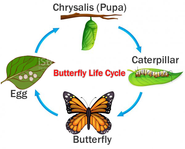 butterfly-life-cycle.png