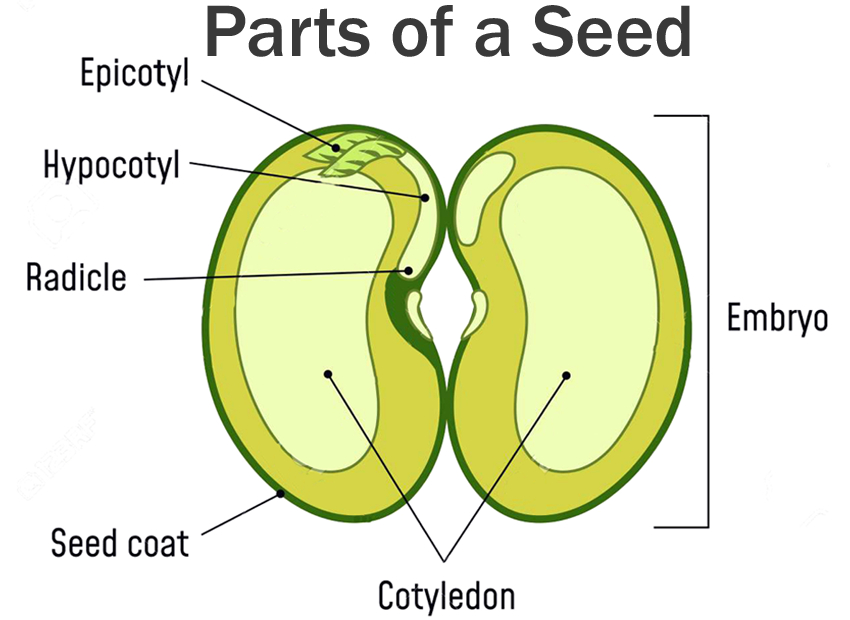 parts of a seed diagram copy