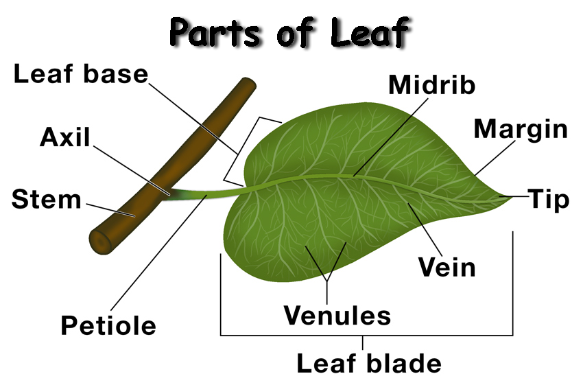 Parts-of-a-Leaf