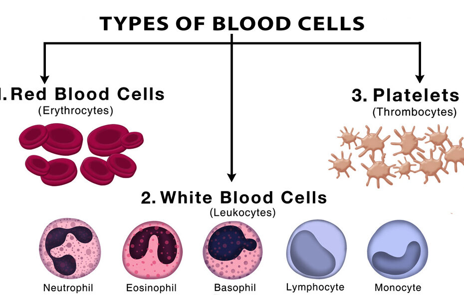 Types-of-Blood-Cells