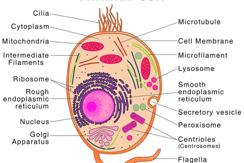 Animal-Cell-Diagram
