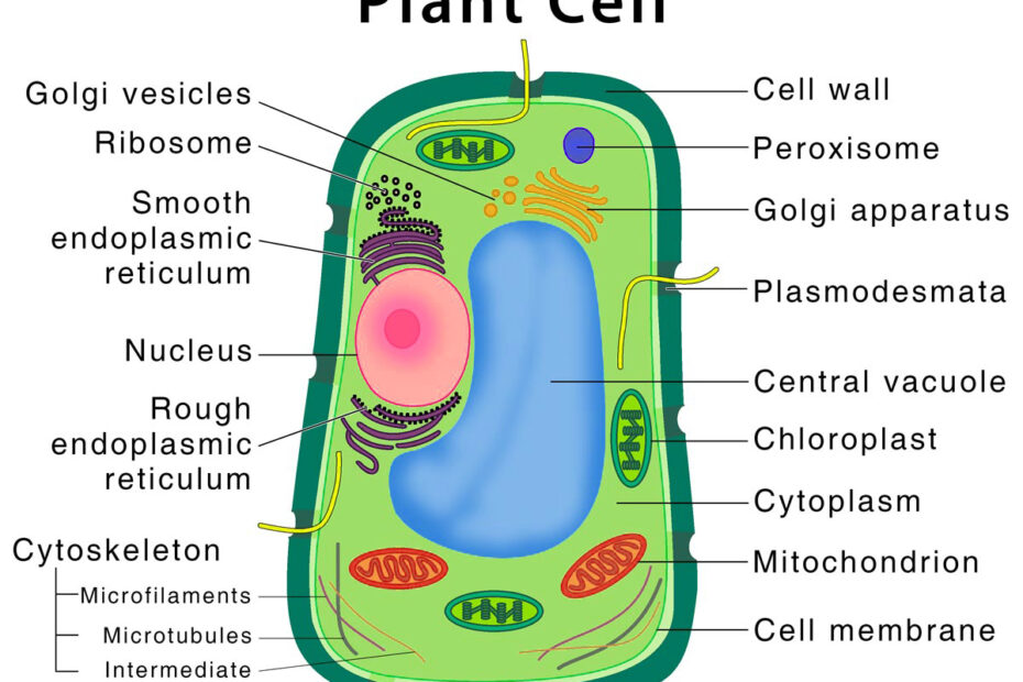 Plant-Cell-Diagram