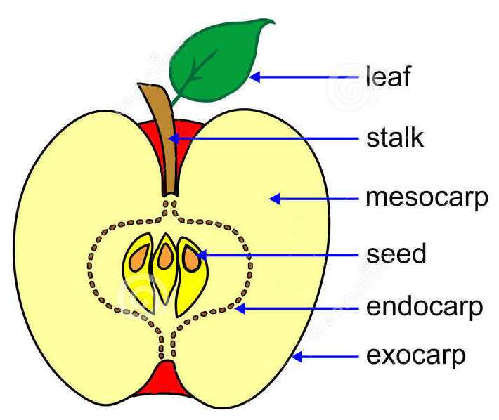 Parts of Fruits