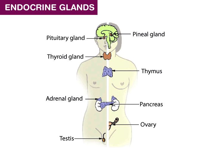 Endocrine system and Endocrine-glands