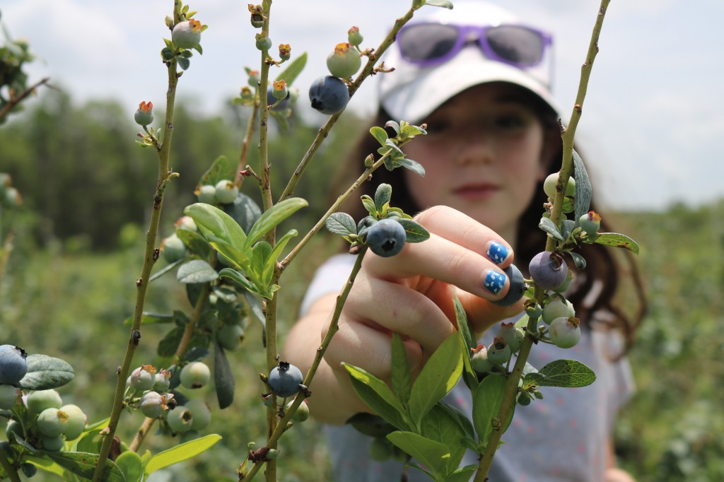Blueberry Picking - Starkey Farm