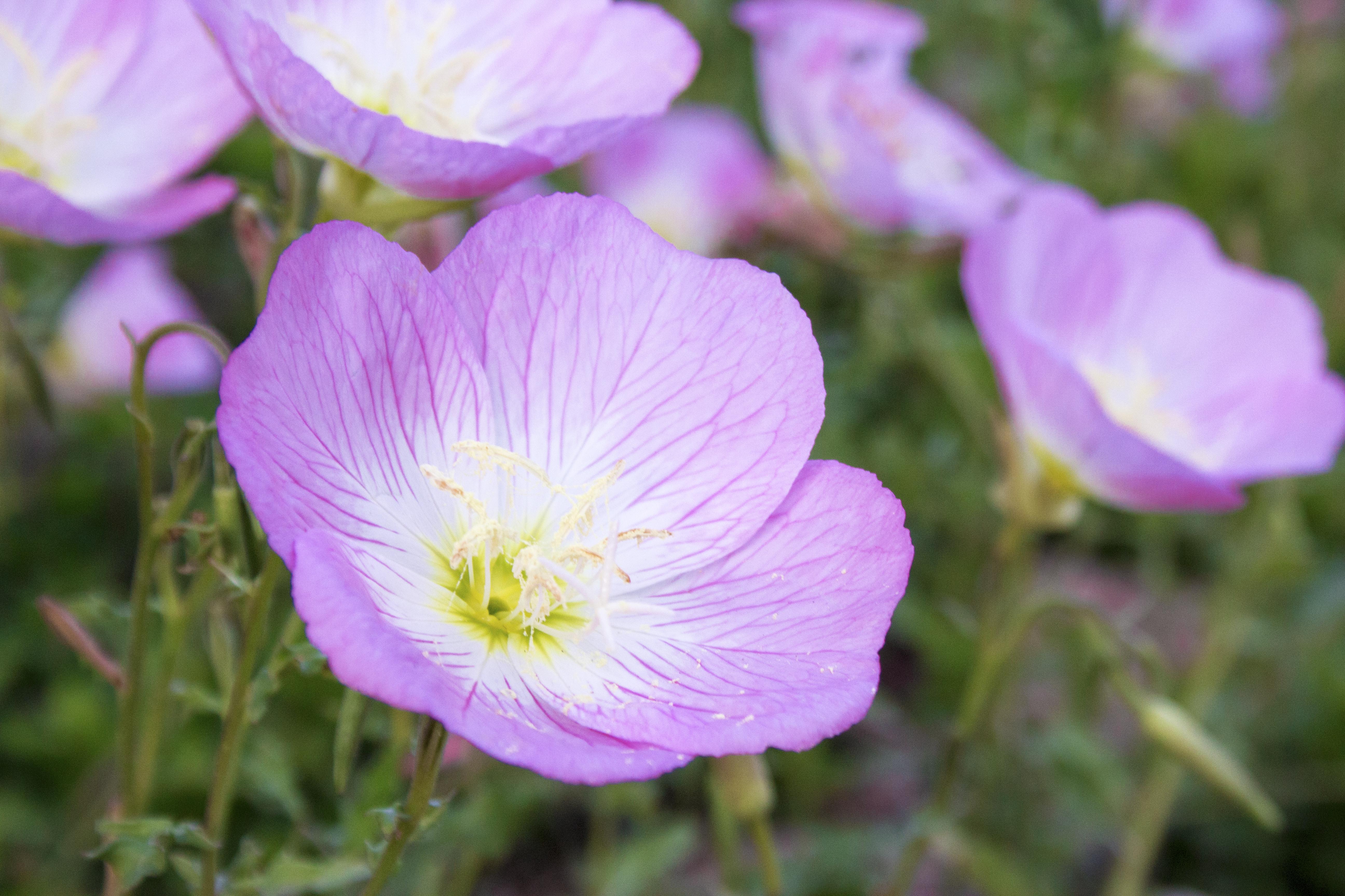 pink-primrose-photo