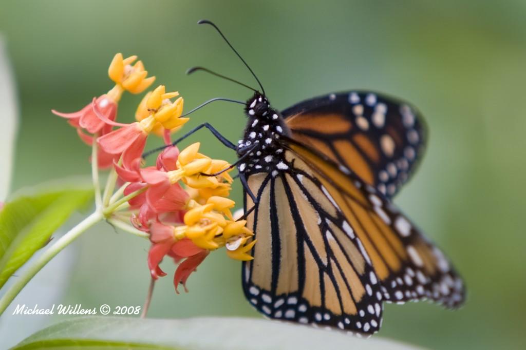 Butterfly warm copy