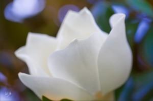 Magnolia 4 x 6 upload