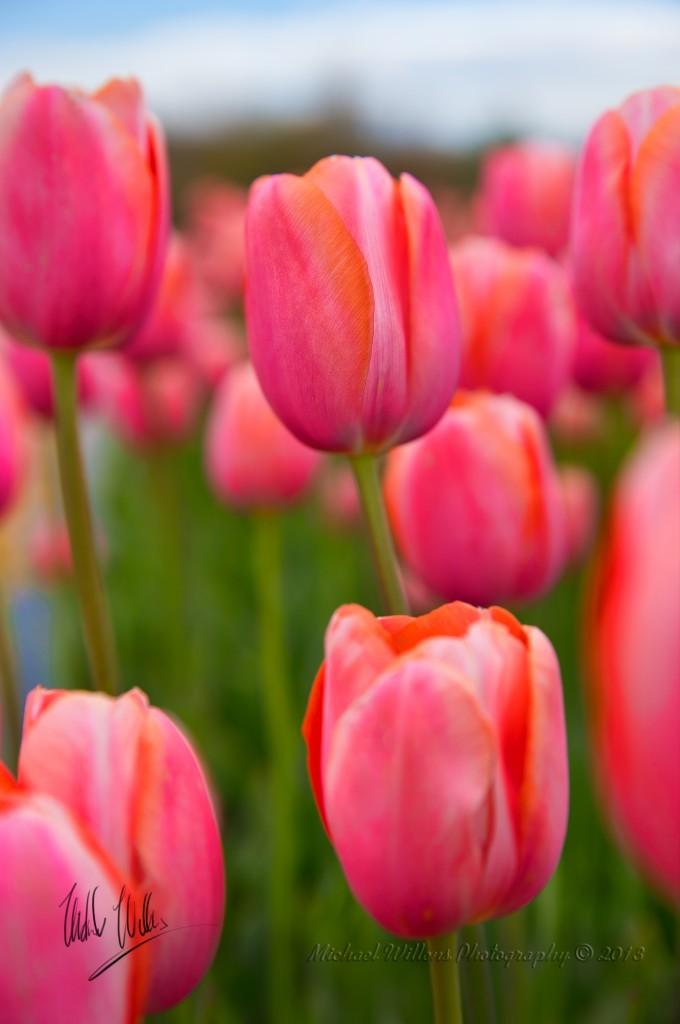 Tulips for Website Sharp