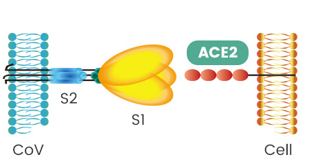 Covid-19 Spike Protein Binds to ACE2 Receptors