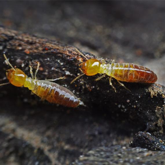 dampwood-termite