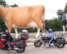 SouthWest Dairy Museum – Giant Cows