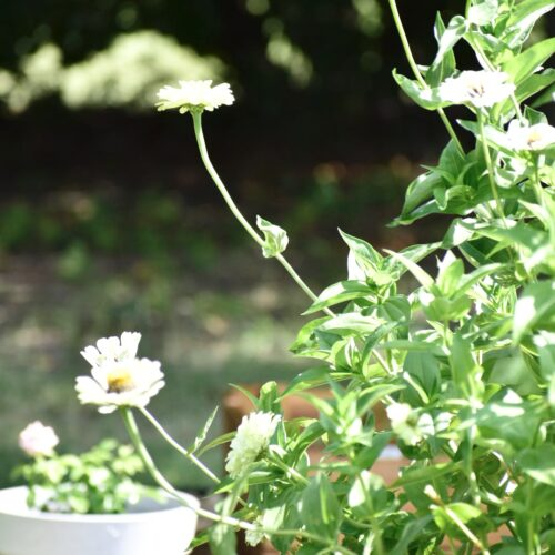 grow zinnias from seeds for cut flowers