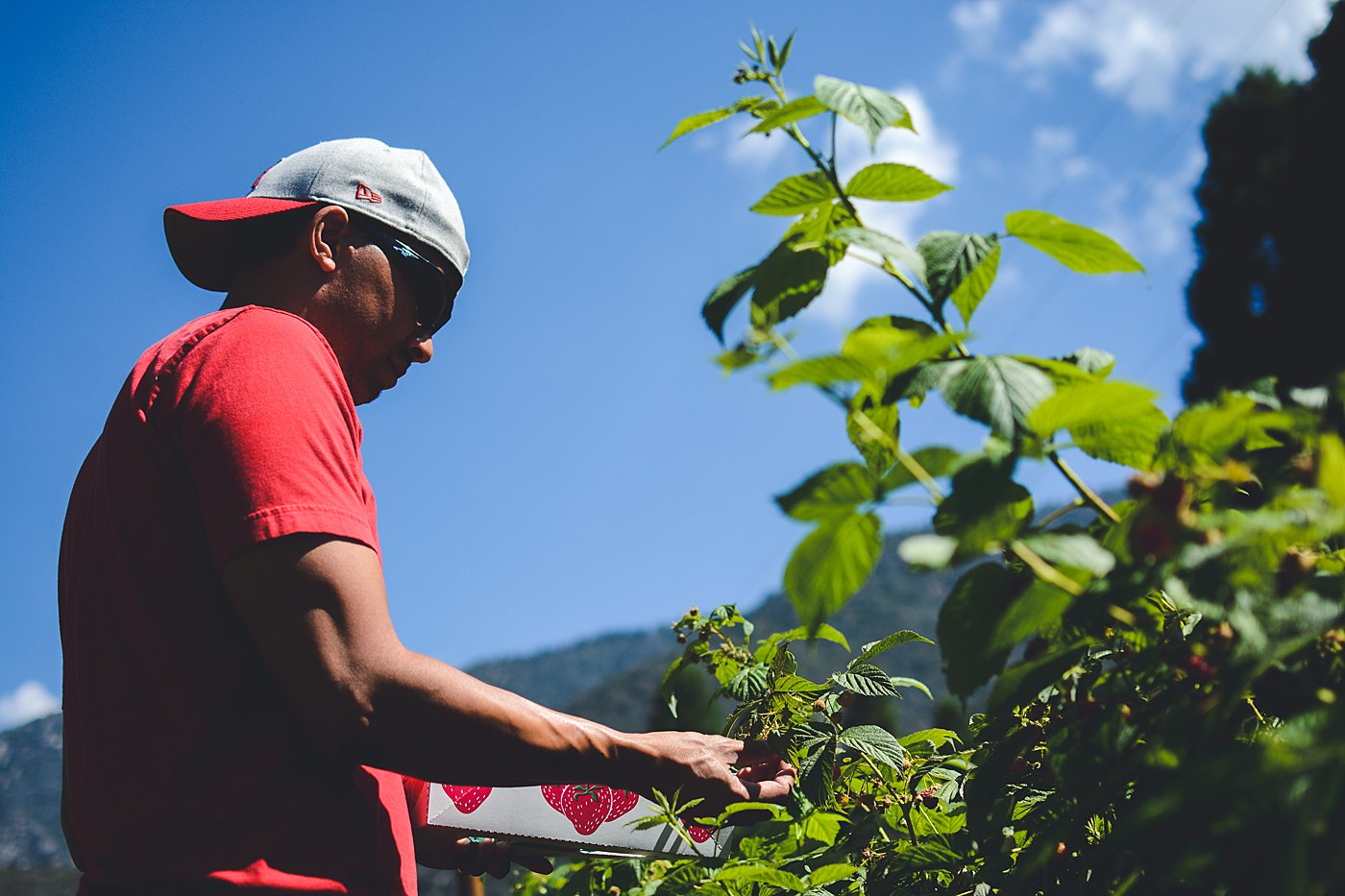 man berry picking snow line orchard oak glen captured grace by erin family photography