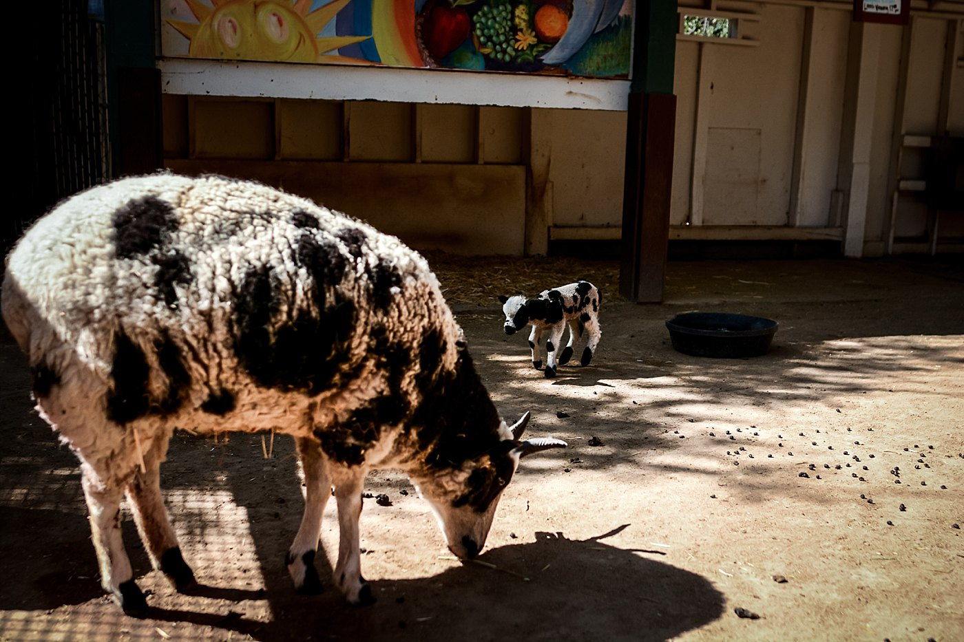baby lamb with mom at orange county zoo redlands family photograper