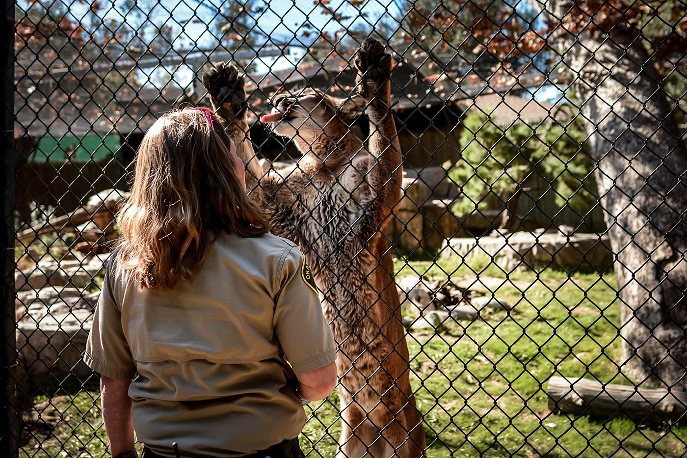 lion on fence with trainer at orange county zoo redlands family photograper