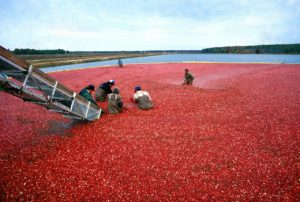Cranberry overproduction