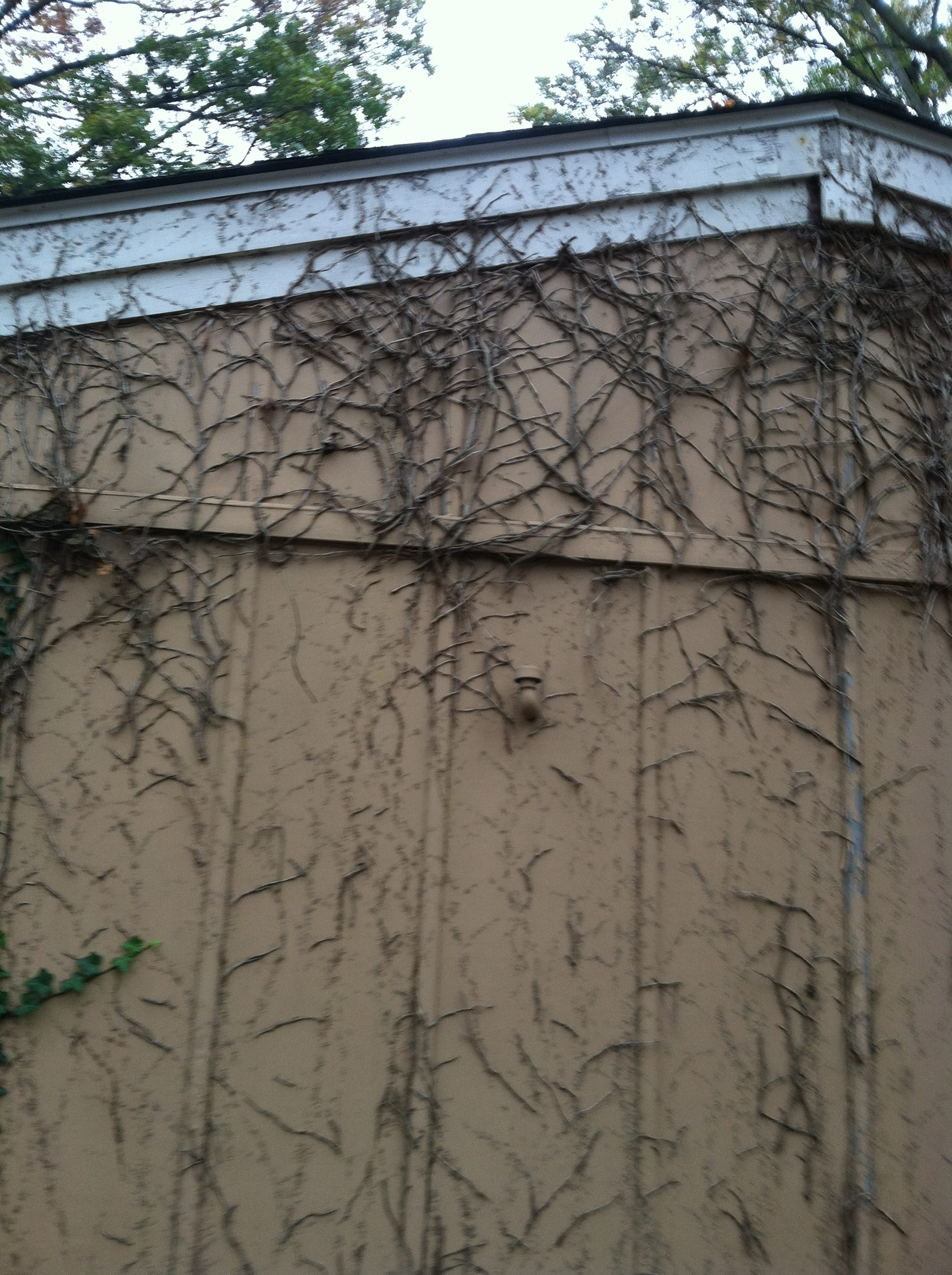 During: Ivy Removal