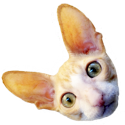 Head of cornish rex cat named Chicken, cut out of background, she is ginger and white.
