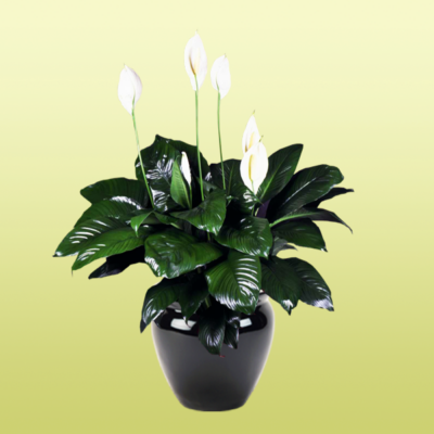 Peace Lily Spathiphyllum Figaro