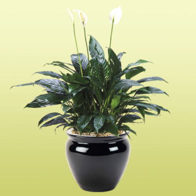 Peace Lily Spathiphyllum Taylor Green