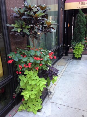 Outdoor Croton Topiary red begonias potato vine impatiens late summer side view(1)