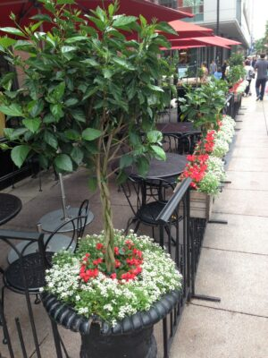 Outdoor Summer Hibiscus Topiaries summer annuals grouping troughs and urn