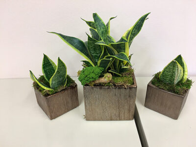 Sanseveria-6-in.-and-4-in.-grouping-arrangement-close-up-on-file-cabinets