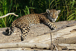 Jaguar in Manu Peru