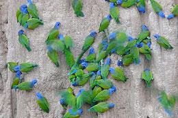 Parrots Clay Lick Manu Expedition