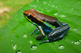 frog in the rain forest Peru