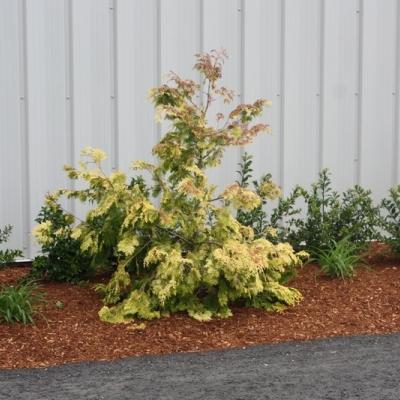 gold-hinoki-cypress-2