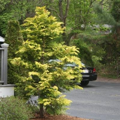 gold-hinoki-cypress-3