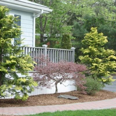 gold-hinoki-cypress-laceleaf-jap-mapler