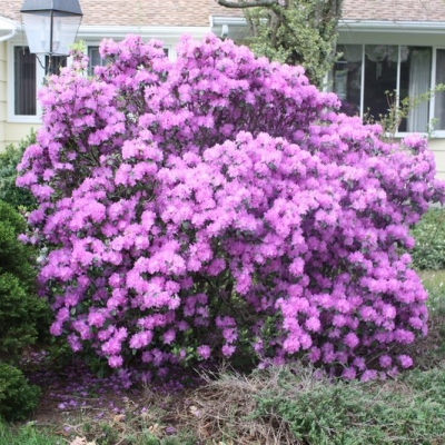 pjm-rhododendron